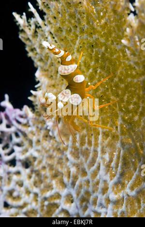 Venus sea fan, Venus' fan, common sea fan (Gorgonia flabellum, Gorgonia ventalina, Rhipidogorgia flabellum), with - Stock Photo