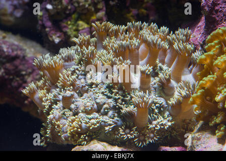 Flower Pot coral (Goniopora spec.), colony - Stock Photo