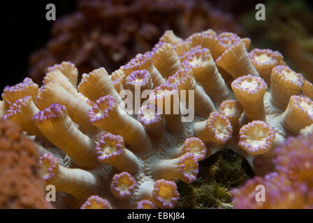Flower Pot coral (Goniopora spec.), macro shot - Stock Photo
