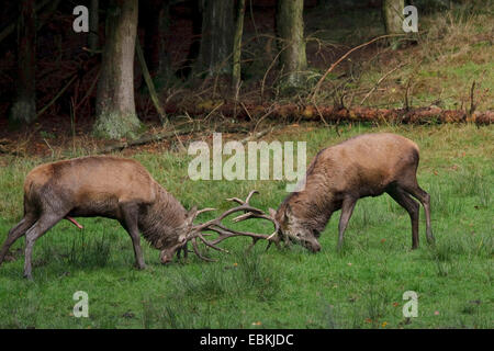 red deer (Cervus elaphus), two bulls in a rutting fight, Germany - Stock Photo