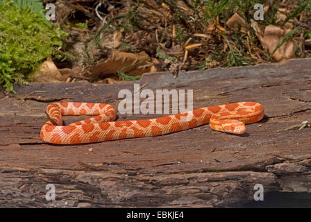 Corn snake Pantherophis guttata albino snow form Stock Photo