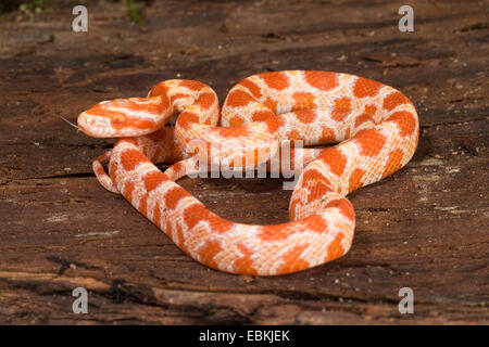 corn snake (Elaphe guttata, Pantherophis guttatus), breed Albino - Stock Photo