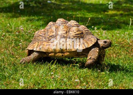 leopard tortoise (Geochelone pardalis), walking in a meadow - Stock Photo