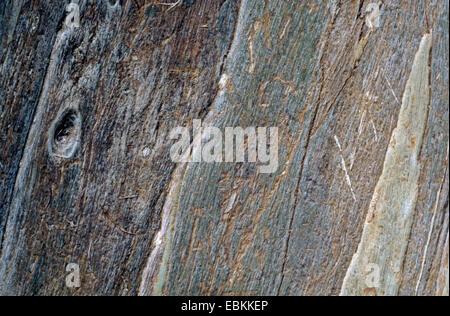 Tasmanian blue gum, Blue gum, Southern Blue Gum (Eucalyptus globulus), close-up view of the tree trunk - Stock Photo