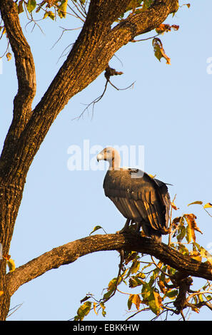 Oriental white-backed vulture (Gyps bengalensis), sitting on a branch, India, Madhya Pradesh - Stock Photo
