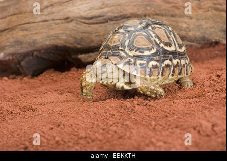 Leopard tortoise (Stigmochelys pardalis, Geochelone pardalis), walking on sandy ground - Stock Photo