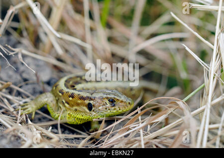 sand lizard (Lacerta agilis), female in front of retreat, Germany - Stock Photo