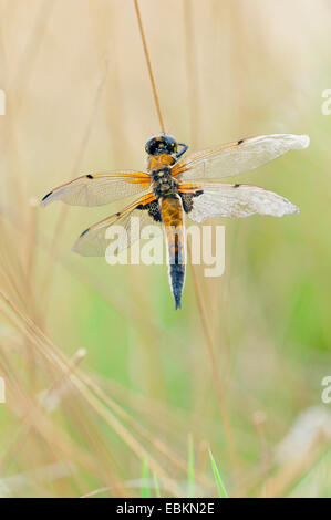 four-spotted libellula, four-spotted chaser, four spot (Libellula quadrimaculata), male, Germany - Stock Photo