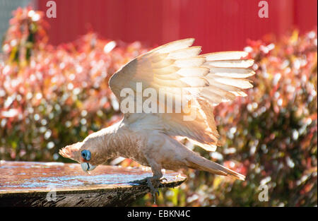 little corella (Cacatua sanguinea), at a bird font, Australia, Western Australia - Stock Photo