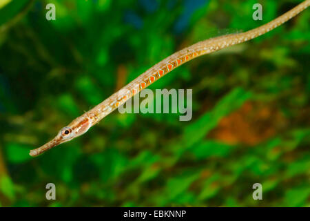 Deocata pipefish (Microphis deocata), side view - Stock Photo