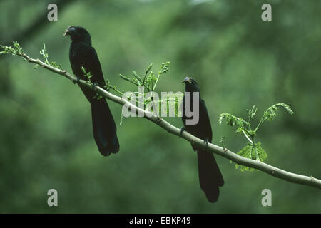 smooth-billed ani (Crotophaga ani), two smooth-billed anis on a branch - Stock Photo
