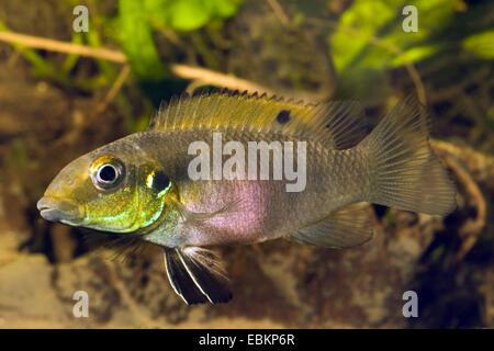 cichlid (Pelvicachromis rubrolabiatus), swimming - Stock Photo