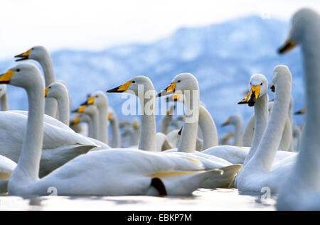 whooper swan (Cygnus cygnus), on a lake in winter, Japan, Hokkaido, Kussharo-Ko - Stock Photo