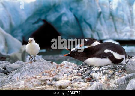 gentoo penguin (Pygoscelis papua), defencing sheathbill, Chionis alba, Antarctica - Stock Photo