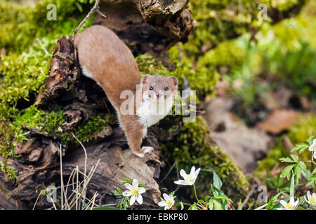 least weasel (Mustela nivalis), on forest ground, Germany, Bavaria - Stock Photo