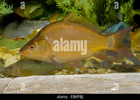 carp, common carp, European carp (Cyprinus carpio), swimming, Germany Stock Photo