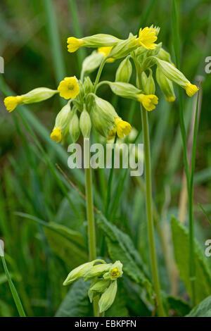 cowslip primrose (Primula veris), blooming in a meadow, Germany, Bavaria, Oberbayern, Upper Bavaria - Stock Photo