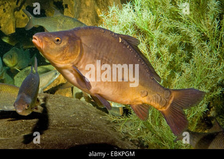 carp, common carp, European carp (Cyprinus carpio), swimming, Germany - Stock Photo