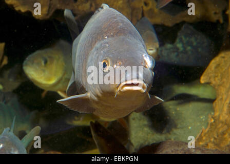 carp, common carp, European carp (Cyprinus carpio), looking into camera, Germany - Stock Photo