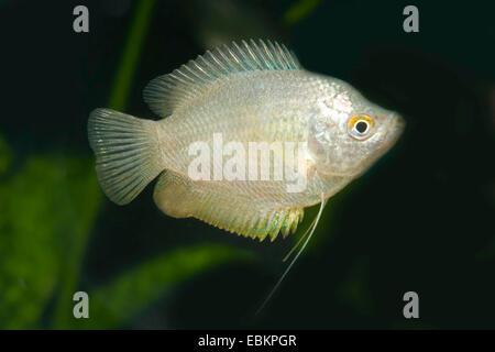 Dwarf gourami (Colisa lalia), female natural color - Stock Photo