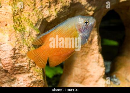 Dwarf gourami (Colisa lalia), breed red - Stock Photo