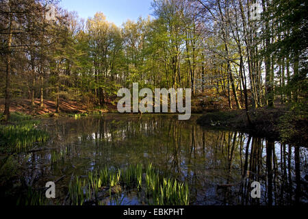Dorney forest with pond in spring, Germany, North Rhine-Westphalia, Ruhr Area, Witten - Stock Photo