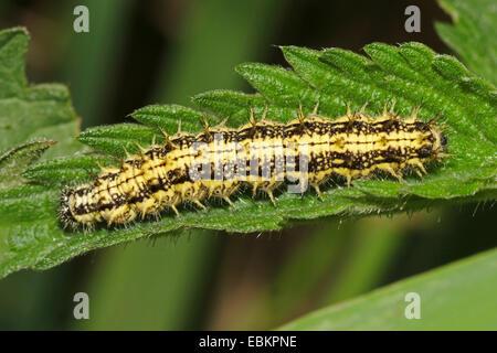 small tortoiseshell (Aglais urticae, Nymphalis urticae), caterpillar on a nettle leaf , Germany - Stock Photo