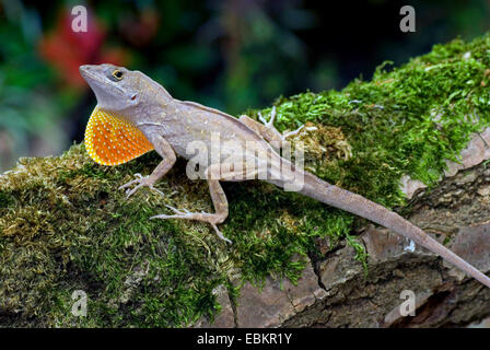 Brown anole, Cuban anole (Anolis sagrei, Norops sagrei), male - Stock Photo