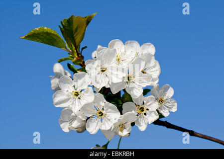 Dwarf cherry, Morello cherry, Sour cherry (Prunus cerasus 'Vowi', Prunus cerasus Vowi), cultivar Vowi, blooming, - Stock Photo