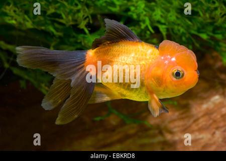 Goldfish, Common carp, Lionhead Goldfish (Carassius auratus), breeding form Lionhead black and red - Stock Photo