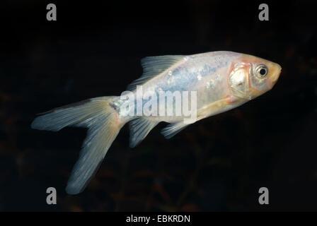 goldfish, common carp (Carassius auratus), breeding form blue-black colourform - Stock Photo