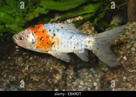 Goldfish, Common carp, v (Carassius auratus), breeding form Shubunkin - Stock Photo