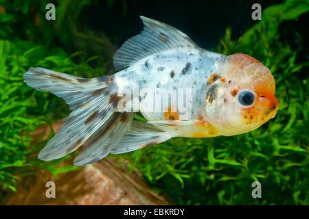 Goldfish, Common carp, Lionhead Goldfish (Carassius auratus), breeding form Lionhead - Stock Photo
