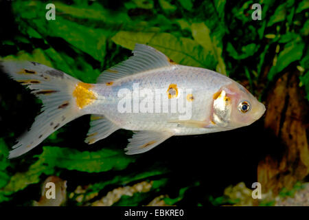 Goldfish, Common carp, Shubunkin (Carassius auratus), breeding form Shubunkin - Stock Photo