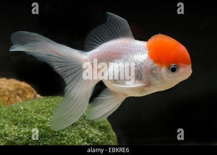 Goldfish, Common carp, Lionhead Goldfish (Carassius auratus), breeding form Lionhead red head - Stock Photo