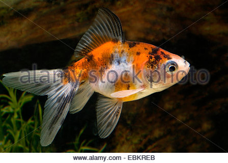 goldfish, common carp (Carassius auratus), breed Calico-Veiltail - Stock Photo