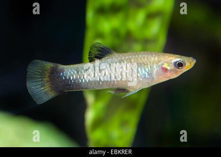 black-bellied molly, blue limia, blackbelly limia (Poecilia melanogaster, Limia melanogaster), full length portrait - Stock Photo