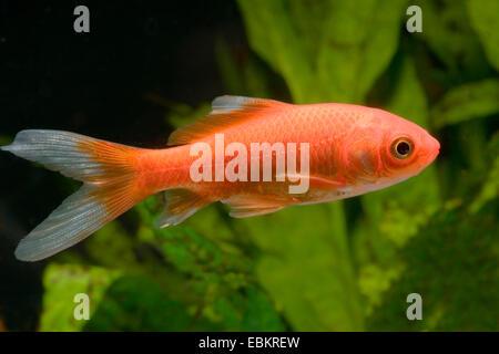 goldfish, common carp (Carassius auratus), breed Sarasa red & white matt - Stock Photo
