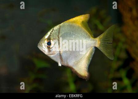 silver mono, moonfish, diamondfish, fingerfish, kilefish, butter-bream, silver moony (Monodactylus argenteus), swimming - Stock Photo
