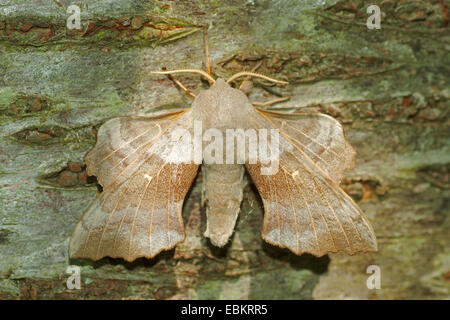 Poplar Hawkmoth (Laothoe populi), sitting on bark well camouflaged, Germany - Stock Photo