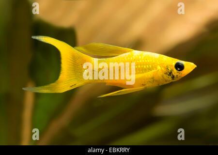 Sailfin molly, Marbeled Molly (Mollienesia latipinna, Poecilia latipinna), swimming - Stock Photo