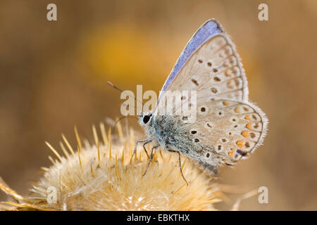 common blue (Polyommatus icarus), sucking nectar from a plant, Germany - Stock Photo