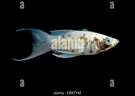 Mexican Molly, Marbled molly, Liberty Molly (Poecilia sphenops, Mollienesia sphenops), breed Lyra Dalmatiner - Stock Photo