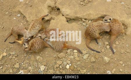 suricate, slender-tailed meerkat (Suricata suricatta), group in an enclosure - Stock Photo