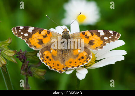 painted lady, thistle (Cynthia cardui, Vanessa cardui), sitting on a daisy, Germany - Stock Photo