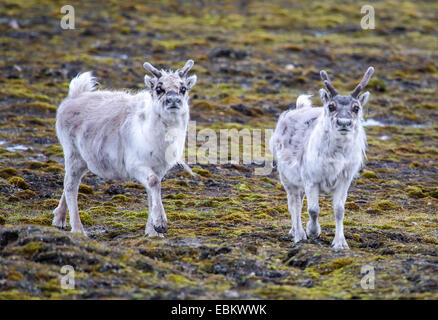 Svalbard reindeer (Rangifer tarandus platyrhynchus ), two reindeers on Svalbard, Norway, Svalbard, Lomfjorden - Stock Photo