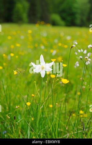 pheasant's-eye daffodil, pheasant's-eye narcissus, poet's narcissus (Narcissus radiiflorus, Narcissus poeticus ssp. - Stock Photo