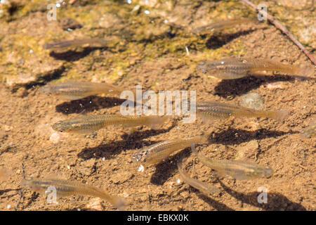 mosquito fish, mosquitofish (Gambusia affinis), several females in shallow water, USA, Arizona, Salt River, Phoenix - Stock Photo