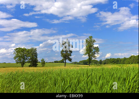 reed belt and single trees in summerly field scenery, Germany, Mecklenburg-Western Pomerania, Roebel - Stock Photo