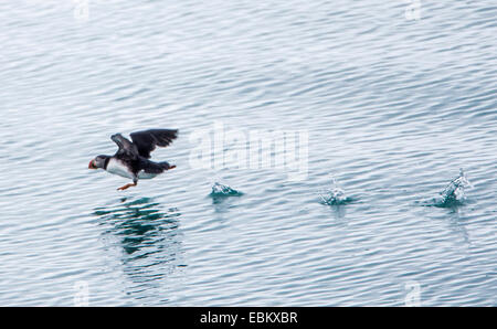 Atlantic puffin, Common puffin (Fratercula arctica), starting from the water, Norway, Svalbard, Svalbard Inseln, - Stock Photo